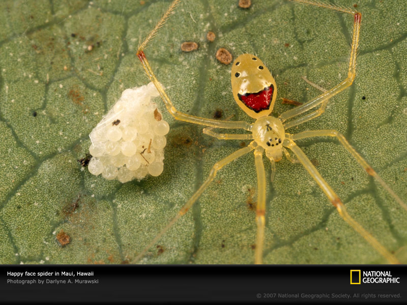 Happy Face Spider Guarding Eggs, Maui, Hawaii, 2001. Saved by sacktap+0 via photography.nationalgeographic.com. Happy Face Spider Guarding Eggs, Maui,