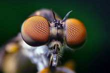 Robber Fly by Opo Terser