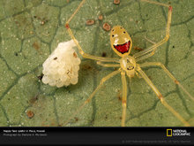 Happy Face Spider Guarding Eggs, Maui, Hawaii, 2001