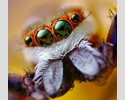 Jumping Spider by Opo Terser